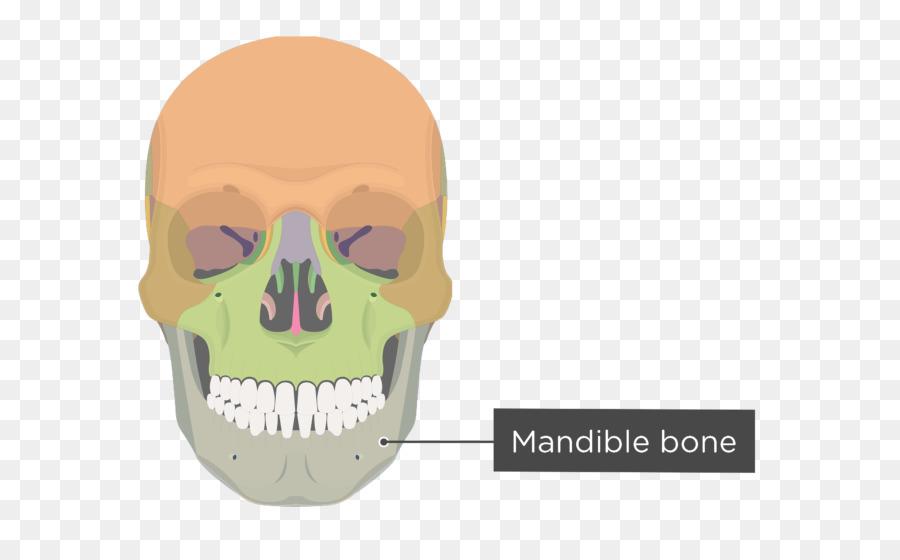 Hueso cigomático proceso Cigomático del maxilar proceso Cigomático ...