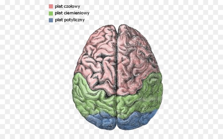 Hemisferio Cerebral Lateralización de la función del cerebro Humano ...