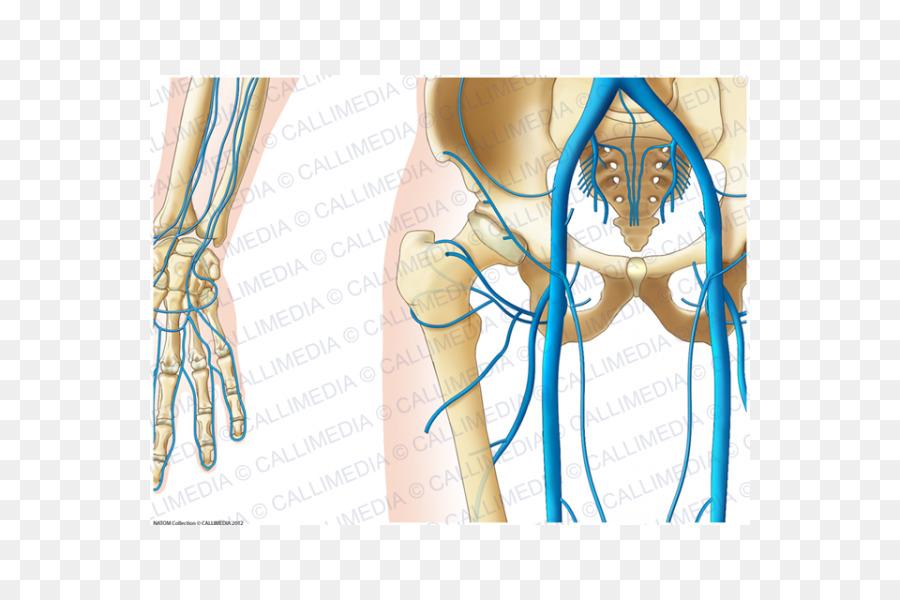 Dedo De La Cadera Pelvis Anatomía Venosa - otros Formatos De Archivo ...