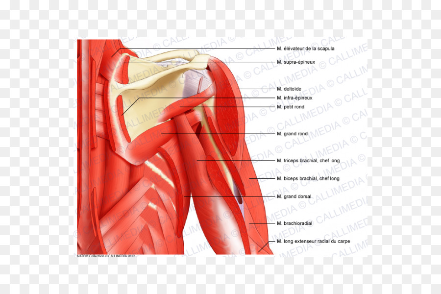 Posterior triangle of the neck Muscle Anterior triangle of the neck ...