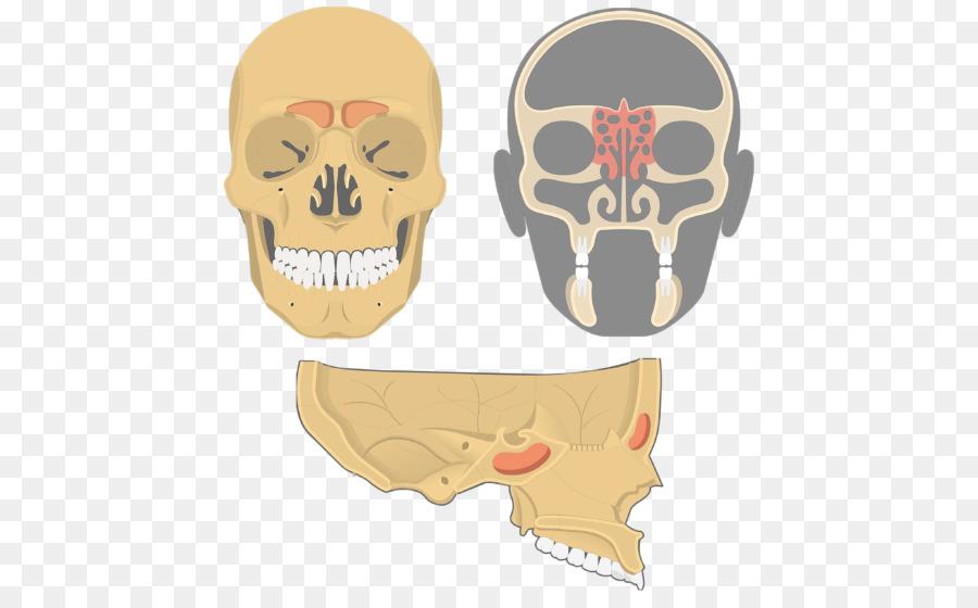 Paranasal sinuses Ethmoid bone Nasal cavity Ethmoid sinus - skull ...