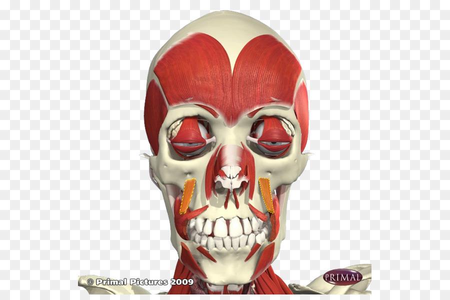 Levator esquina de la boca Depresor del ángulo de la boca Anatomía ...