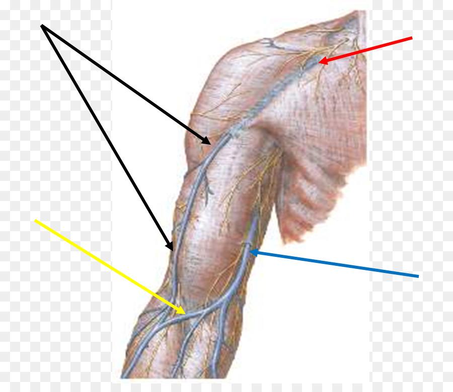 El pulgar de los Nervios vaso Sanguíneo de la Vena de una Extremidad ...