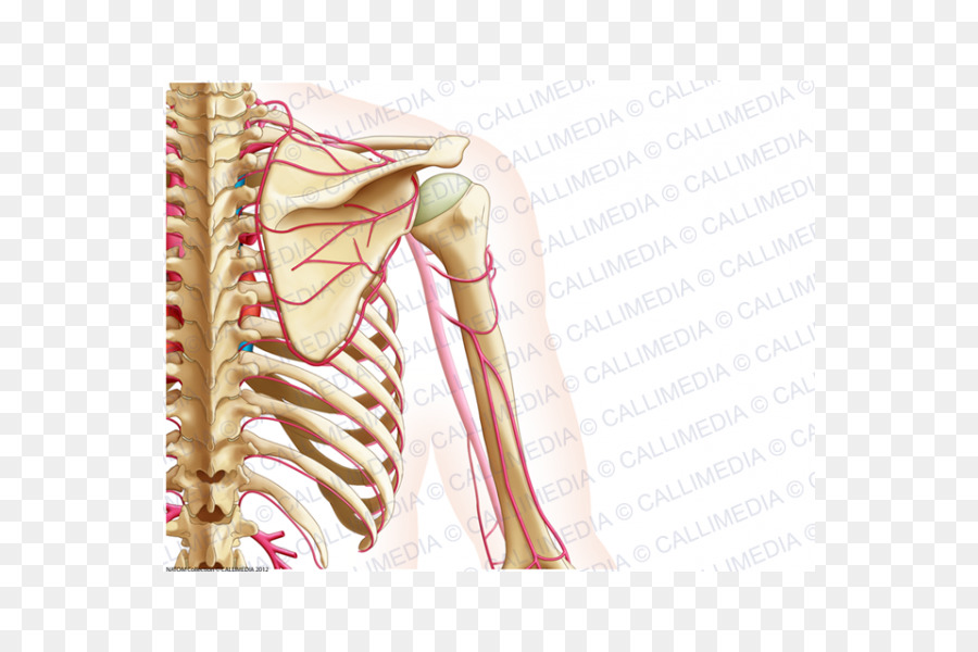 Hip Shoulder Arm Upper limb Bone - arm png download - 600*600 - Free ...