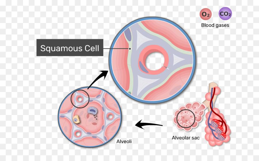 Pulmonar alvéolos intercambio de Gases en el sistema Respiratorio ...