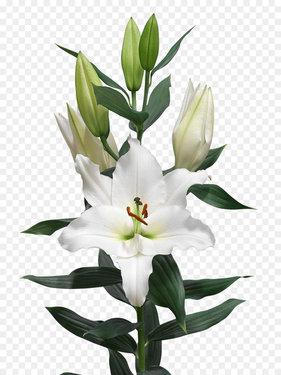 Cut Flowers Bulb Madonna Lily Royal Van Zanten Flower Png Download