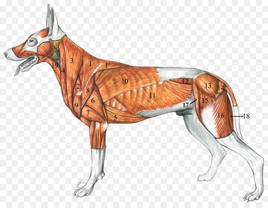Perro De La Anatomía: Un Colorante Atlas Muscular - Perro Formatos ...