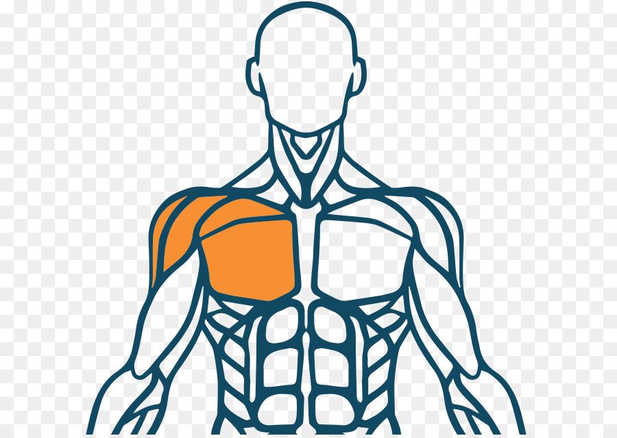 Músculo del cuerpo Humano sistema Muscular Dedo Humano de nuevo ...