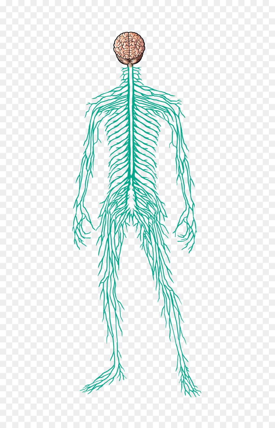 El sistema nervioso del cuerpo Humano Músculo Nervio Homo sapiens ...