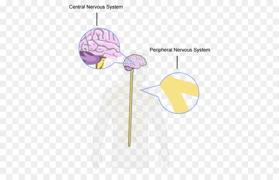 Brain Central nervous system Peripheral nervous system Structure and ...