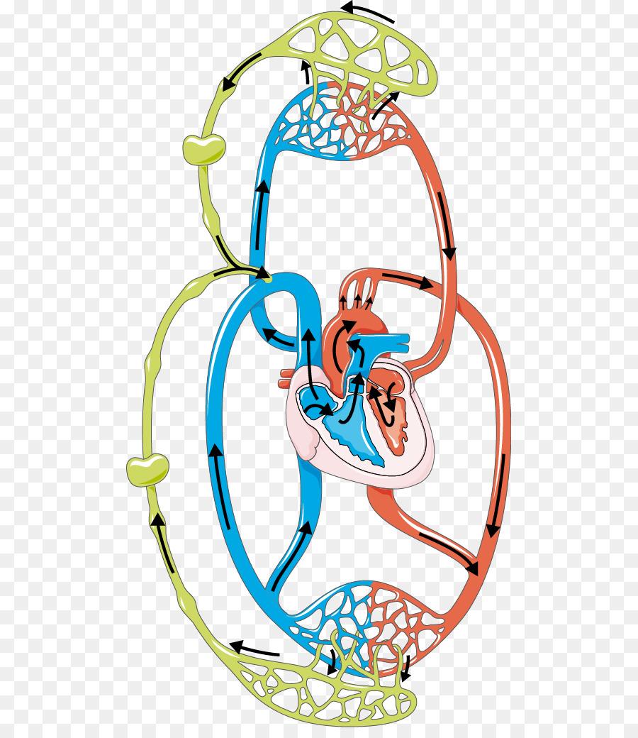 Sistema linfático el sistema Circulatorio de la Sangre de los ...
