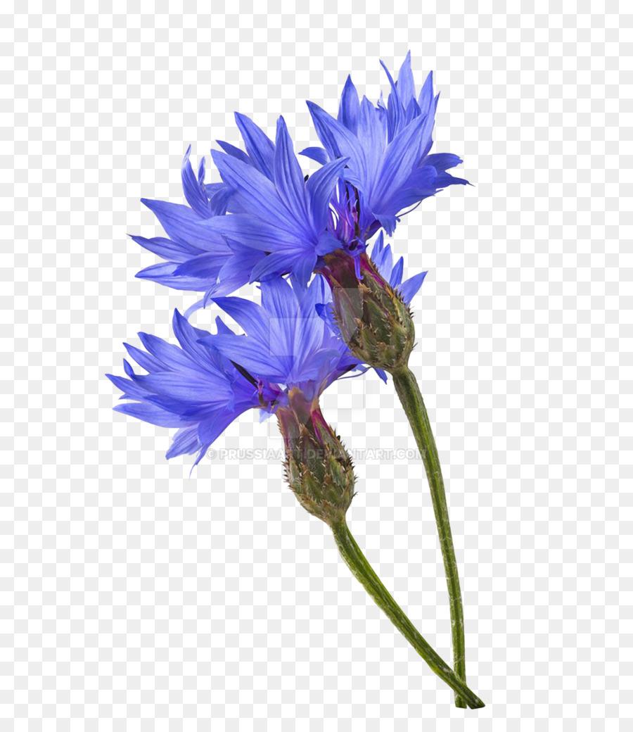 Cornflower Blue Photography Blue Flower Maize Plant Png Download