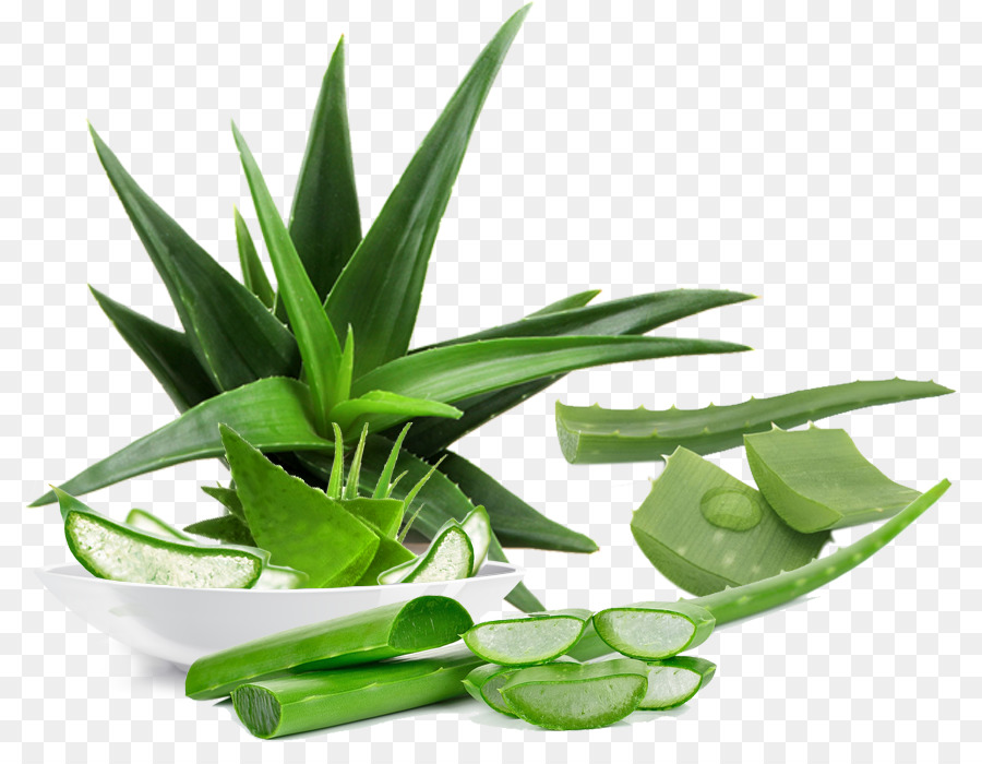 plant type essay aloe vera Aloe vera is also known as medicinal aloe, while its common names are lily of the desert, burn plant and elephant's gall it belongs to the family of succulent plants in the genus 'aloe' the origin of this burn plant is believed to be in sudan and has been used for more than 6,000 years.