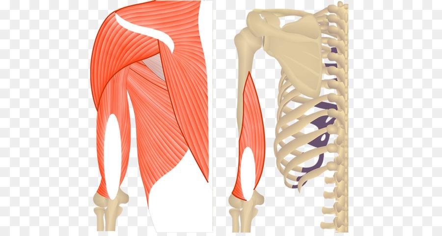 Teres Major Muscle Triceps Brachii Muscle Teres Minor Muscle Biceps