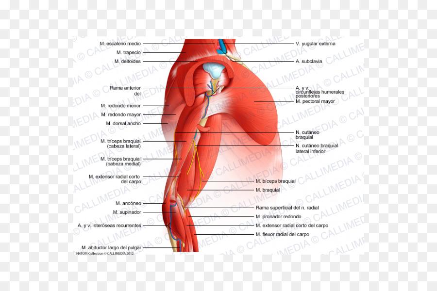 Brazo Del Músculo Del Hombro Anatomía Del Codo - brazo Formatos De ...