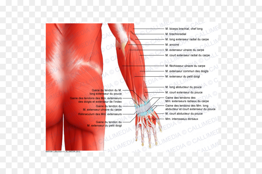 Forearm Muscle Elbow Anatomy Muscular system - arm png download ...