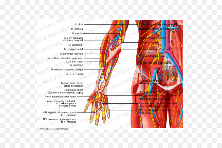 Radial Nerve Forearm Muscle Blood Vessel Arm Png Download 600