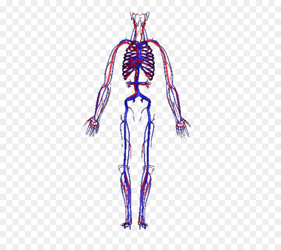 Circulatory system Human body Blood vessel Homo sapiens - Human Body ...