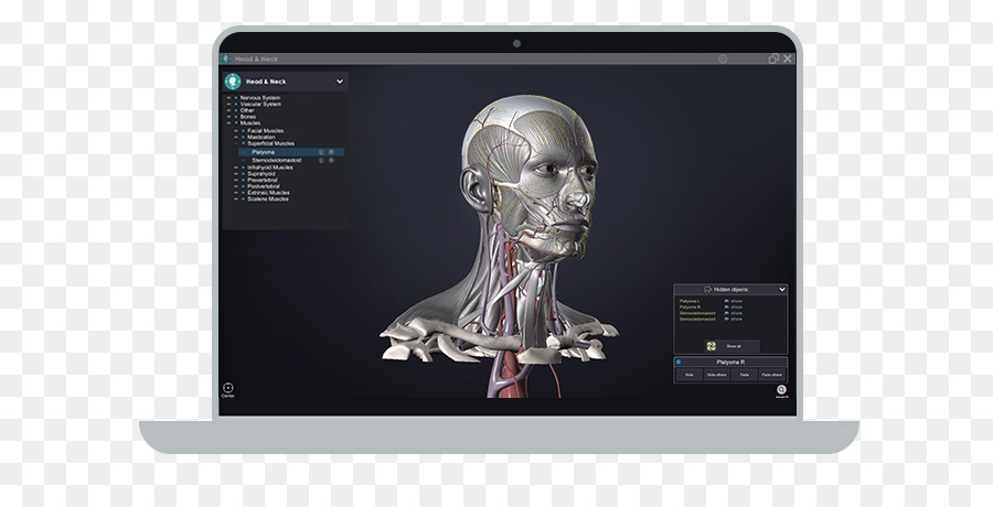 Head And Neck Anatomy Skull Lymph Node Head And Neck Png Download