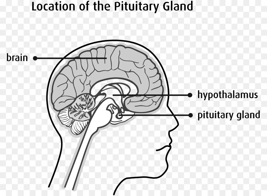 Pituitary Gland Hypothalamus Endocrine Gland Posterior Pituitary