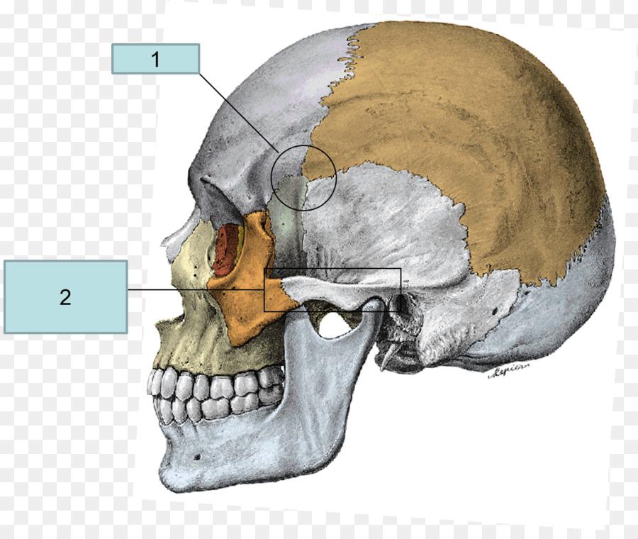 Superior nasal concha Zygomatic bone Anatomy Temporal bone - skull ...
