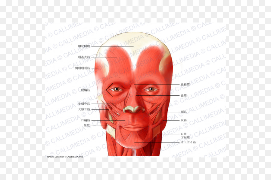 Muscle Head and neck anatomy Muscular system - others png download ...