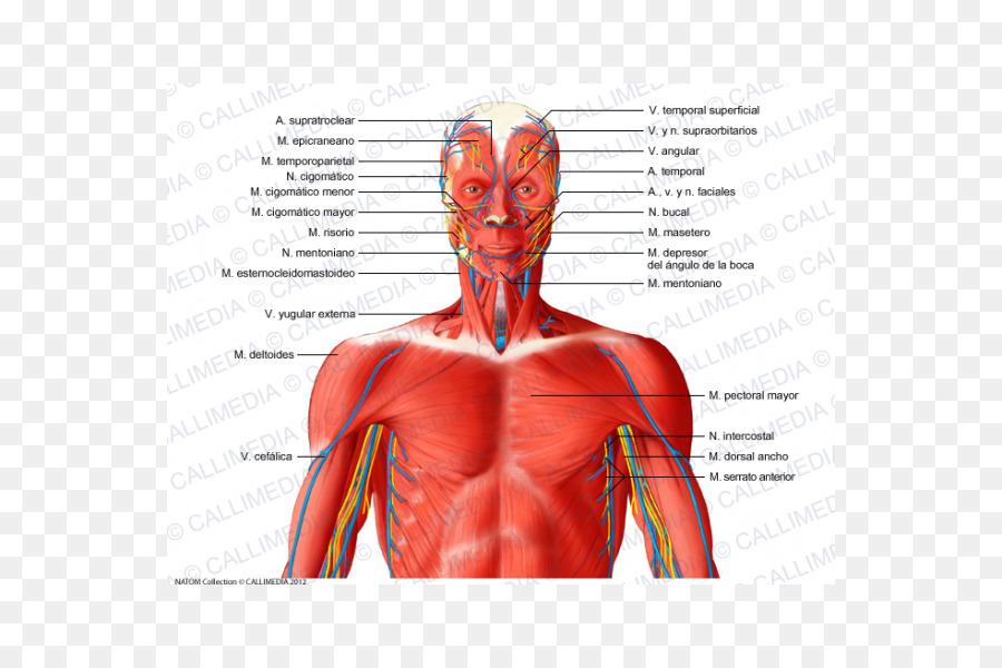 Sistema Muscular en el Cuello de los vasos Sanguíneos del Músculo de ...