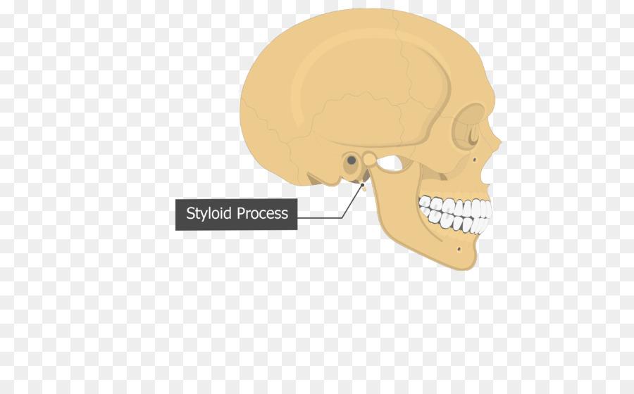 Cráneo Timpánica parte de la Mastoides del hueso temporal parte del ...