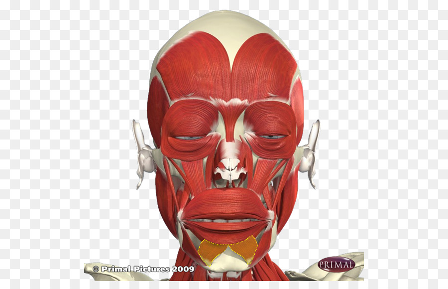 The Anatomy Lesson of Dr. Nicolaes Tulp Botulinum toxin Facial ...