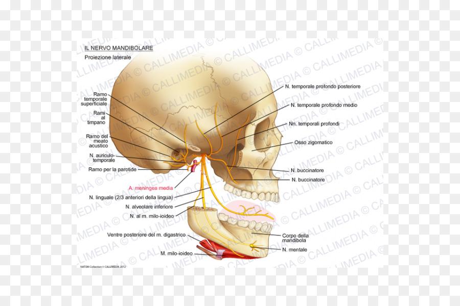 Oído al nervio Mandibular del nervio Auriculotemporal nervio ...