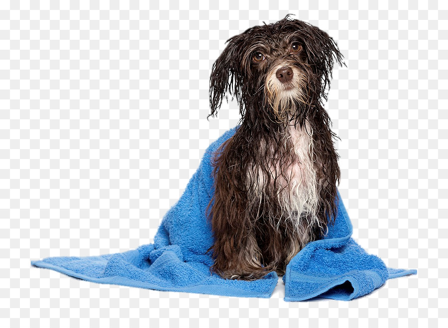 Havanese Dog Puppy Pet Sitting Daycare Grooming