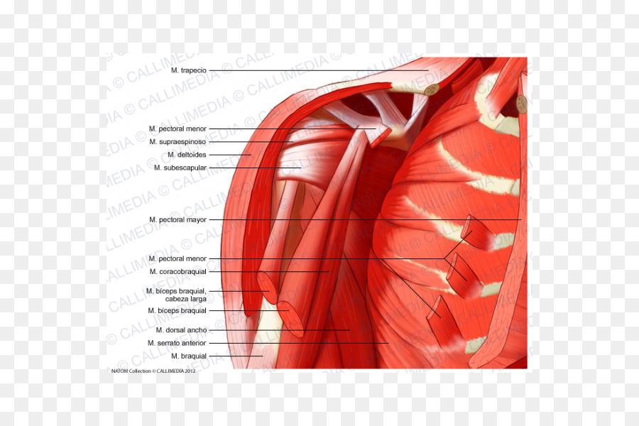 El hombro del Brazo músculo Deltoides cuerpo Humano - brazo Formatos ...