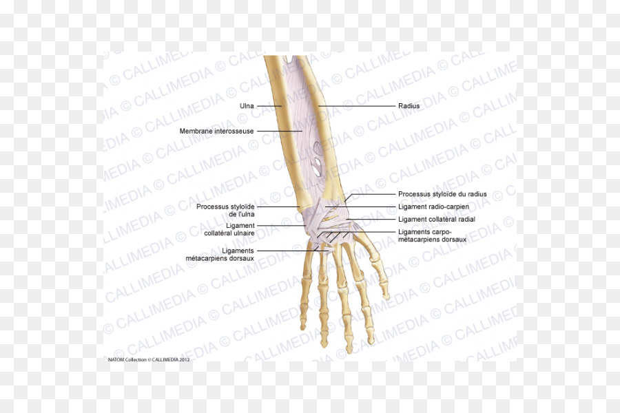 Thumb Forearm Ligament Anatomy Hand - hand png download - 600*600 ...
