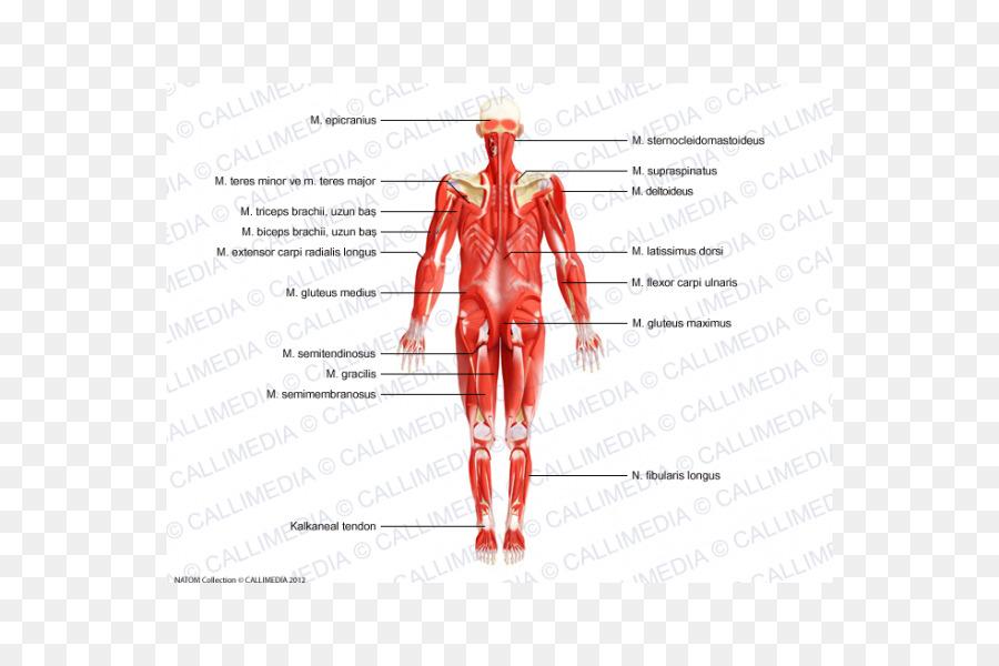 Músculo Nervio Homo sapiens cuerpo Humano sistema Nervioso ...