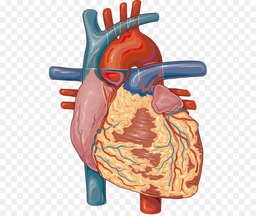 Medicina para el corazón de los ganglios Linfáticos aparato ...