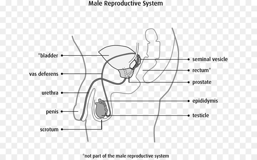 Sistema reproductivo masculino Escroto Testículo Anatomía - hombre ...