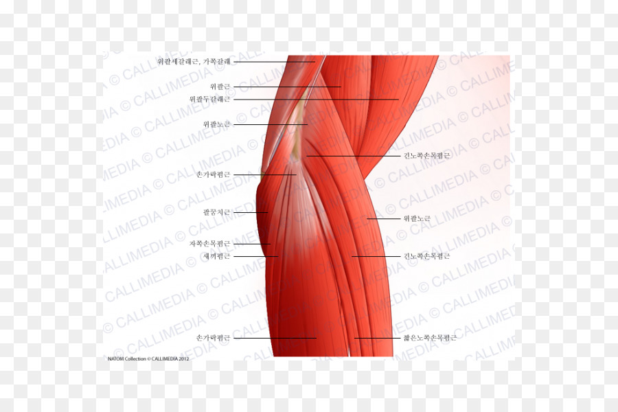 Elbow Anconeus muscle Brachialis muscle Triceps brachii muscle ...