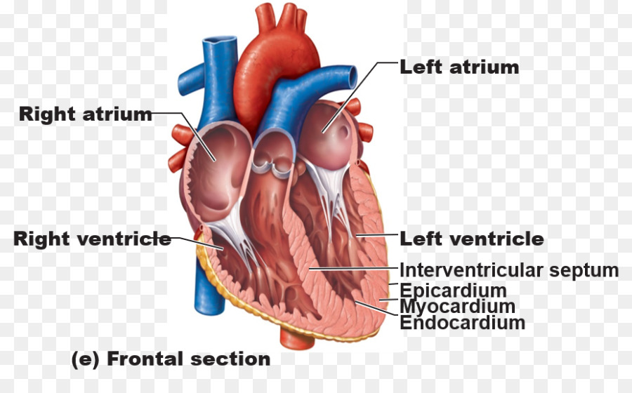 Anatomy Of The Heart Great Vessels Human Body Heart Png Download