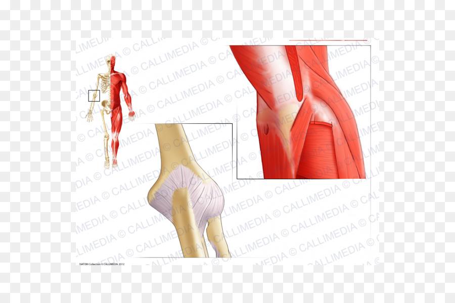 Pulgar Codo de la extremidad Superior de la anatomía Humana - otros ...