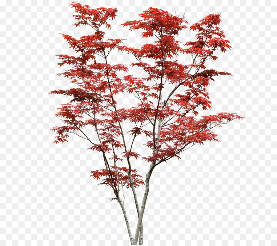 Japanese Maple Acer Japonicum Acer Davidii Shrub Tree Tree Png