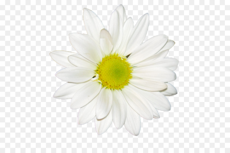 Common Daisy Chrysanthemum Tea White Oxeye Daisy Fleur Blanche Png