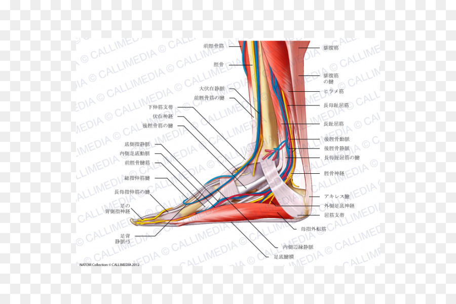 Tibialis-anterior-Muskel-Muskulatur-Nerven Fuß - andere png ...