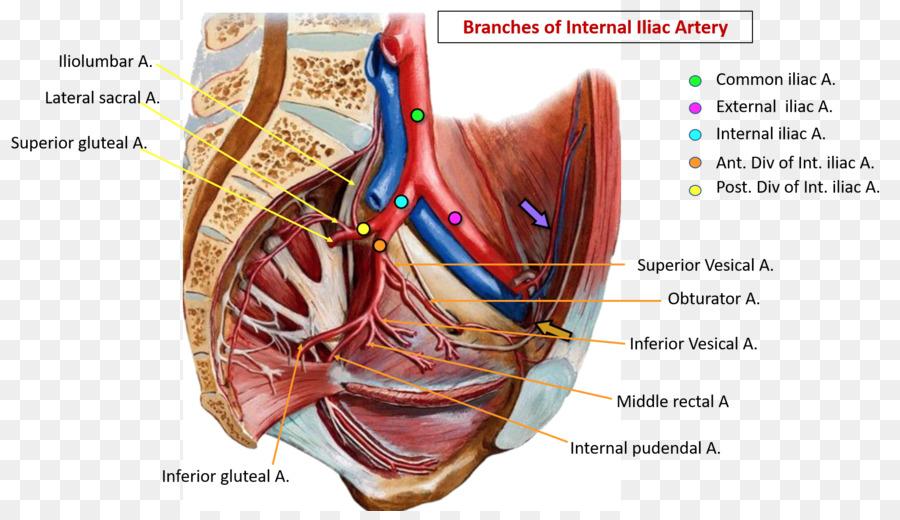 Common Iliac Artery Internal Iliac Artery Pelvis External Iliac