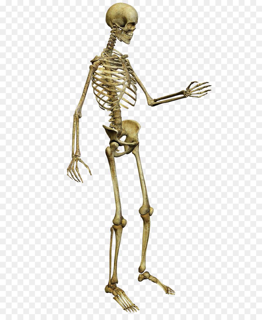 Human Skeleton Anatomy Clip Art Skeleton Png Download 6001085