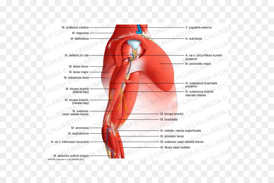 Hombro músculo isquiocavernoso Brazo Anatomía - brazo png dibujo ...