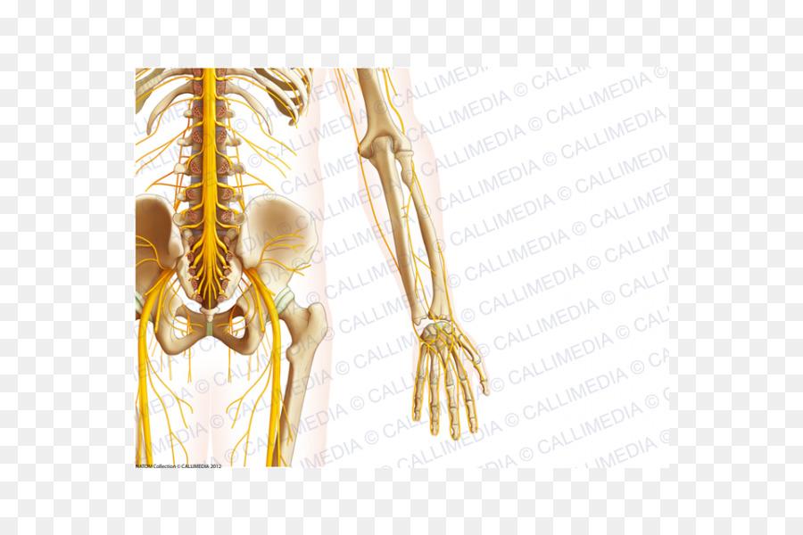 Hueso de la Pelvis del Nervio anatomía Humana - otros Formatos De ...