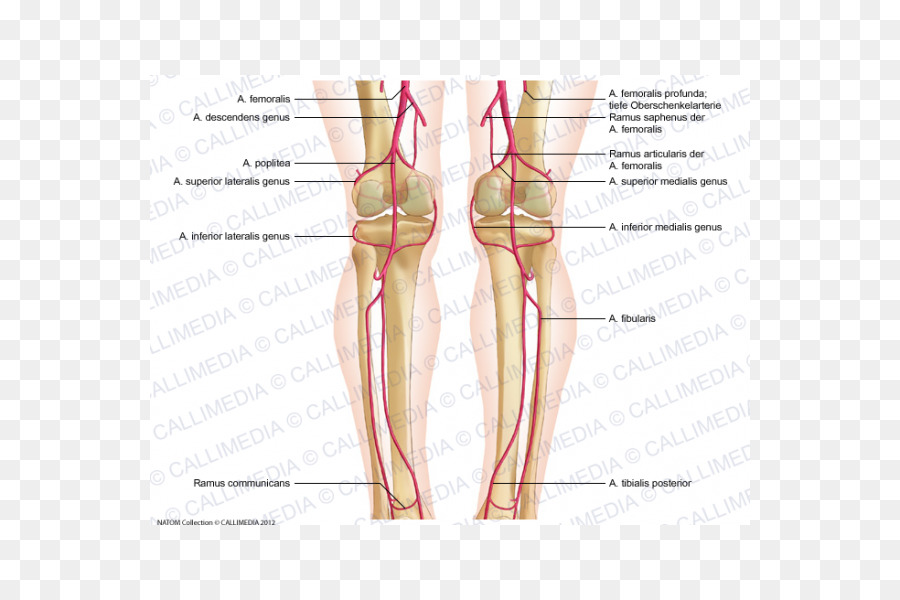 El pulgar de la Rodilla de la arteria Femoral de la arteria Poplítea ...