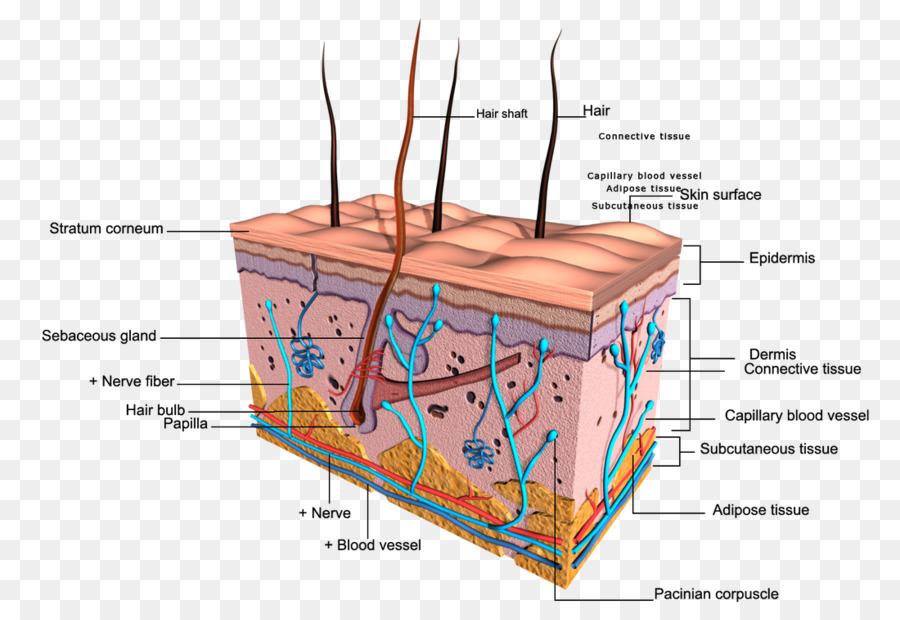 Integumentary System Human Skin Human Body Diagram Nail Png