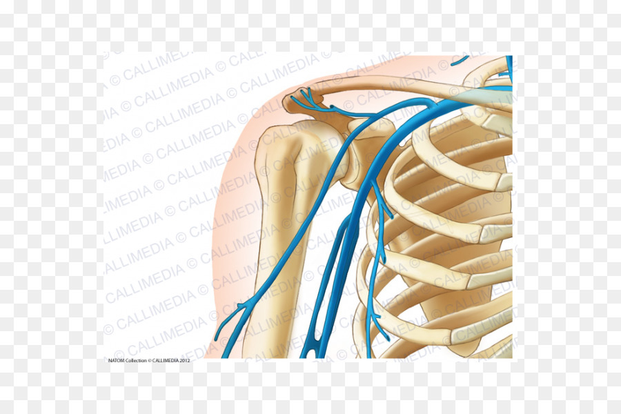 Shoulder Vein Anterior humeral circumflex artery Arm - arm png ...