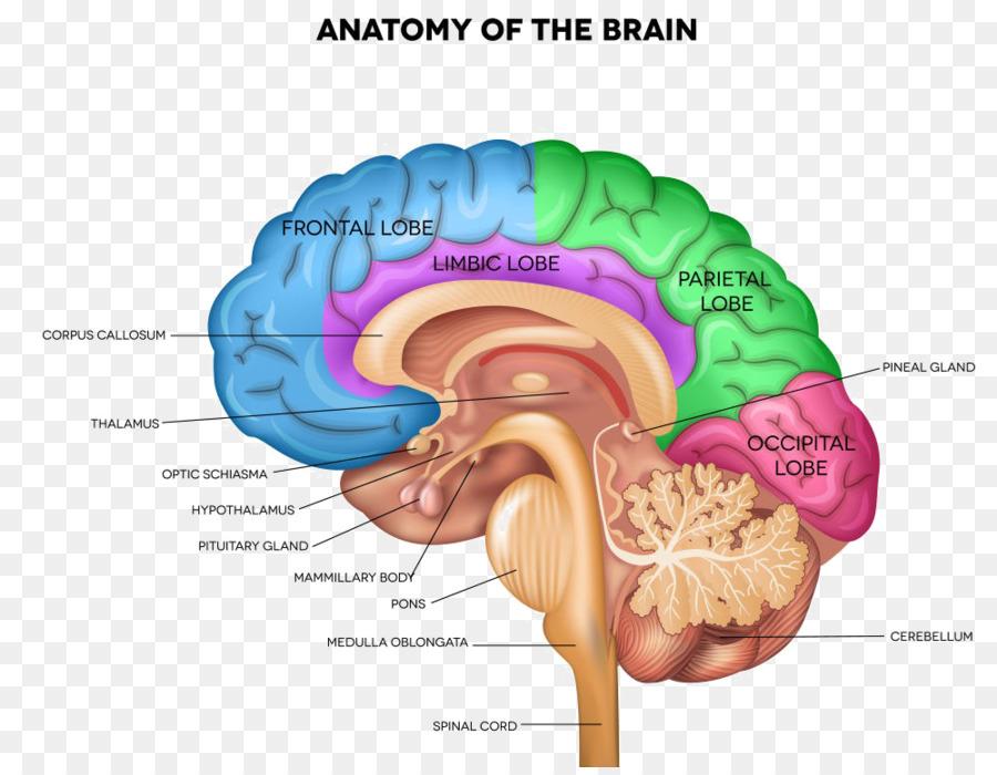 Human Brain Anatomy Human Body Sagittal Plane Brain Png Download